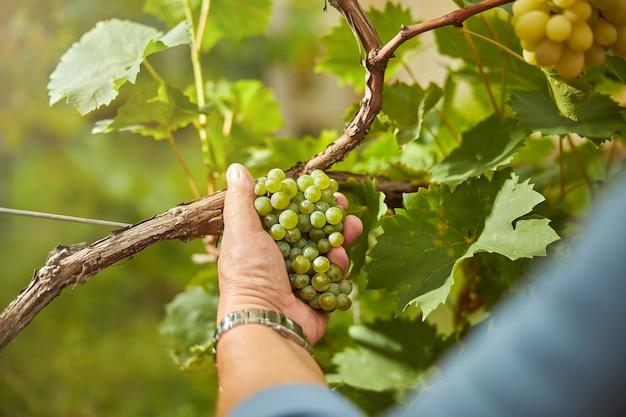 Przycięte zdjęcie soczystej kiści winogron rosnącej na winorośli trzymanej w dłoni ciężko pracującego mężczyzny