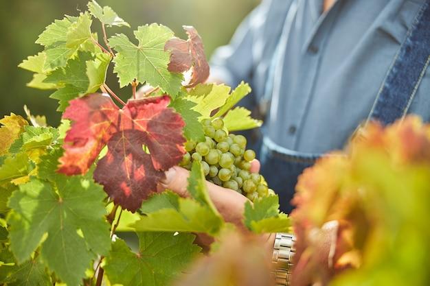 Przycięte zdjęcie winorośli dotykanej ręką rolnika