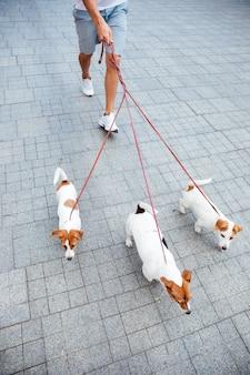 Przycięty obraz mężczyzny spacerującego po chodniku z trzema psami rasy jack russell