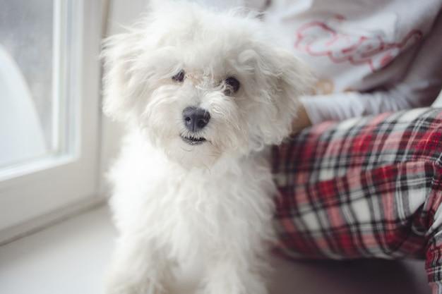 Przycięty obraz właścicielki zwierzęcia siedzącego z uroczym puszystym białym bichonowym psem frise w domu