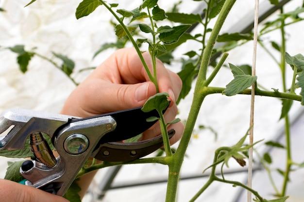 Przycinaj pędy wodne, które wyrastają między łodygami pomidora przycinającego gałęzie pomidora