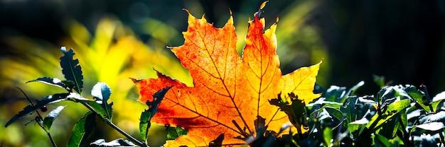 Przycinanie banerów internetowych. czerwono pomarańczowy liść w świetle słonecznym na bokeh tle. piękny jesień krajobraz z zieloną trawą. kolorowe liście w parku. spadające liście naturalne tło