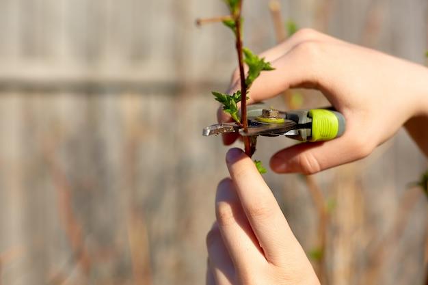 Przycinanie drzew owocowych sekatorami ogrodowymi w wiosennym ogrodzie