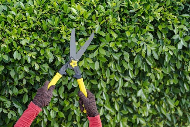 Przycinanie drzew ozdobnych w domu rano