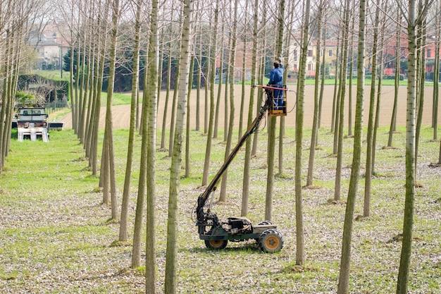 Przycinanie działa na drzewach topoli za pomocą zdalnie sterowanej ciężarówki