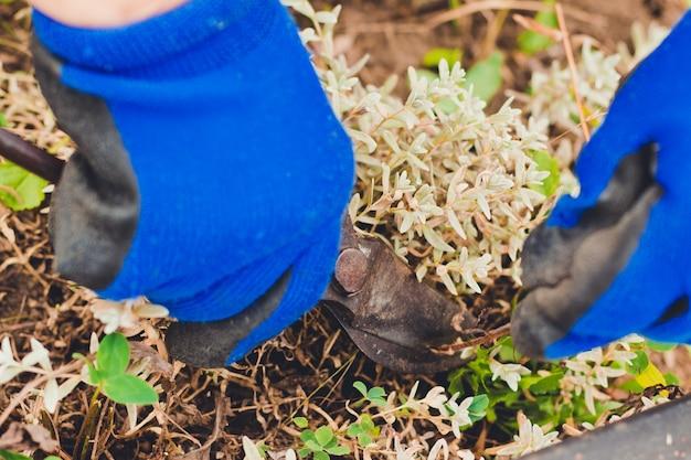 Przycinanie krzaków. ogrodnictwo na farmie jesienią lub wiosną. ogrodnik tnie suche gałęzie sekatora.