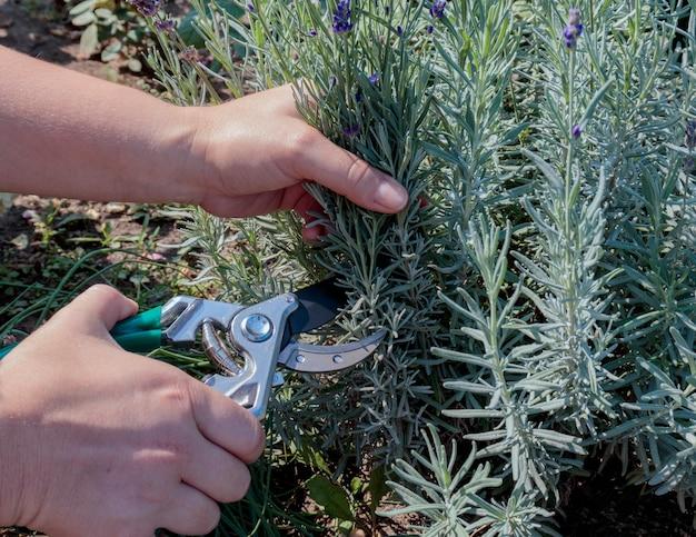 Przycinanie krzewów lawendy wiosną lub jesienią. kobiece dłonie wycinają lawendę nożyczkami ogrodowymi