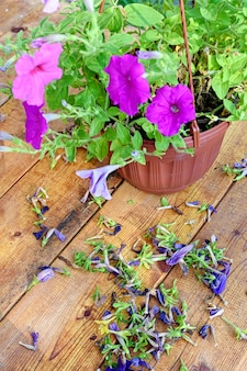 Przycinanie starych kwiatów petunii lub surfinii. drewniany stół z suszonymi kwiatami.