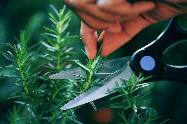 Przycinanie świeżych ziół rozmarynu natura zieleń. wytnij rozmaryn rosnący w ogrodzie dla ekstraktów olejku eterycznego