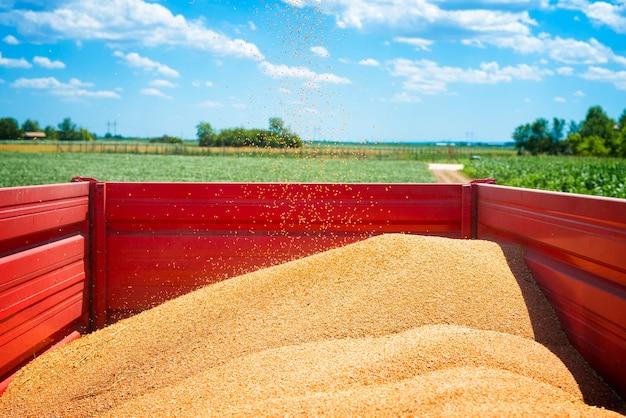 Przyczepa rolnicza pełna nasion pszenicy na polu