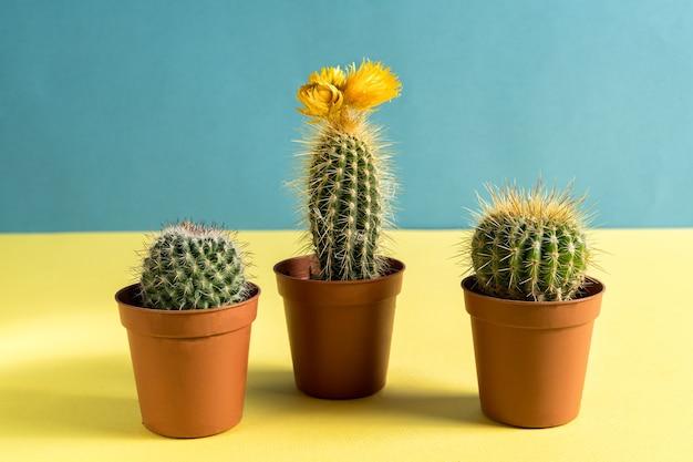 Przydomowy ogródek z doniczkowymi kaktusami na żółto i niebiesko