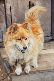 Przykuty wiejski pies przy drewnianym stodole oglądania