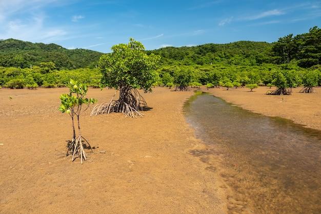 Przypływ wznoszący się przez suche piaski ze środka drzew namorzynowych