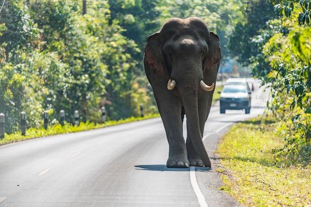 Przyroda, azjatyckiego słonia odprowadzenie na drodze przy khao yai parkiem narodowym, tajlandia