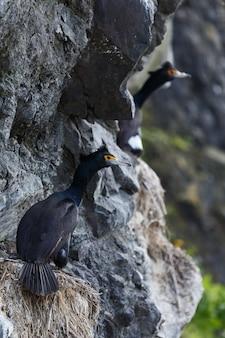 Przyroda kamczatki: kormoran czerwonolicy (phalacrocorax urile) siedzący w gnieździe na klifie. rosja, daleki wschód, kamczatka.