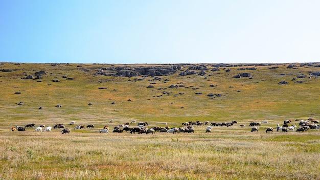 Przyroda mołdawii, równina z rzadką roślinnością, licznymi skałami i pasącymi się kozami