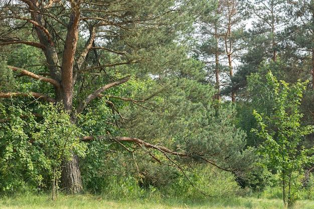 Przyroda w lesie, drzewa iglaste i inne rośliny