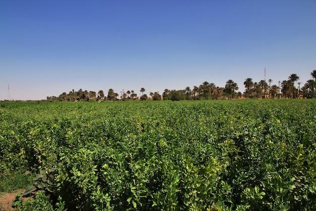Przyroda w małej wiosce nad nilem, sudan