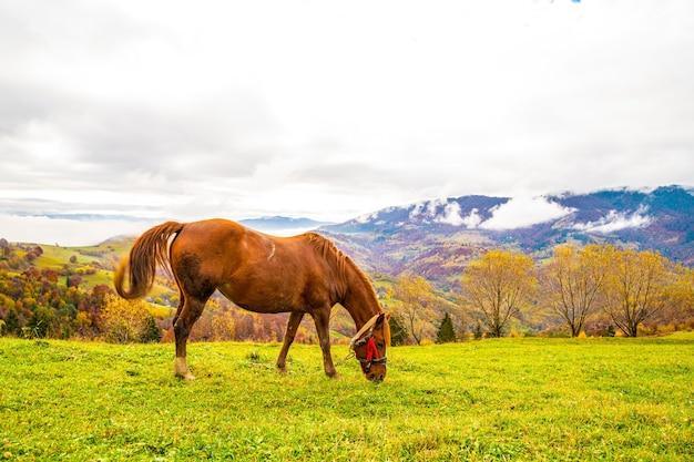 Przystojny ogier chodzi po polu i zjada soczystą trawę