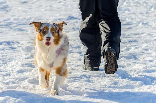 Przystojny pies siberian husky o nietypowym kolorze futra, portret na zewnątrz