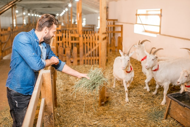 Przystojny rolnik karmiący kozy sianem w stodole