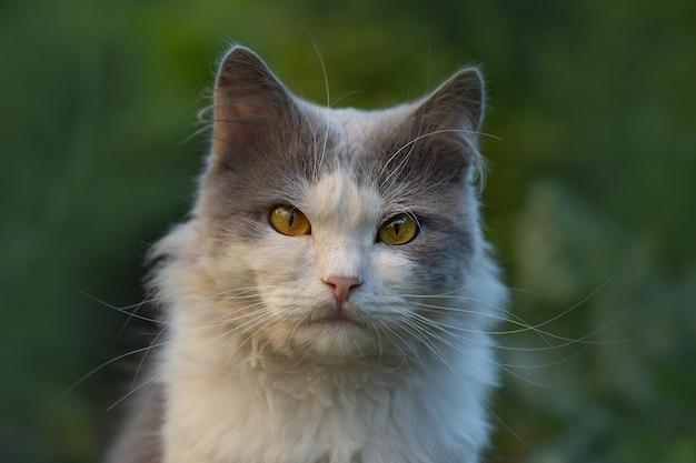 Przytnij obraz twarzy kota z pięknymi oczami. zbliżenie kota z krótkimi włosami