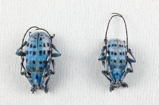 Pseudomyagrus waterhousei chrząszczy blisko