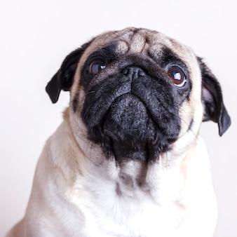Psi mopsa zakończenie z smutnymi brown oczami. portret na białym tle