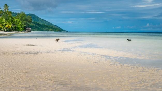 Psy bawiące się na beack w pobliżu water hut of homestay na wyspie kri. raja ampat, indonezja, papua zachodnia