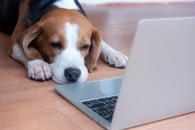 Psy beagle pracują w biurze przy komputerze.
