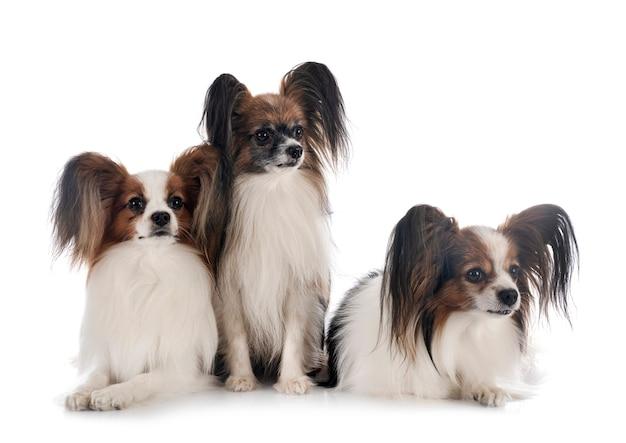 Psy brodawki na białym tle