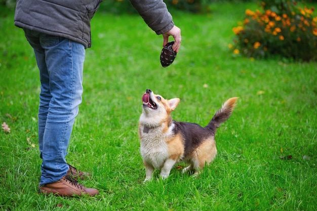 Psy corgi chodzące po zielonym trawniku jesienny dzień