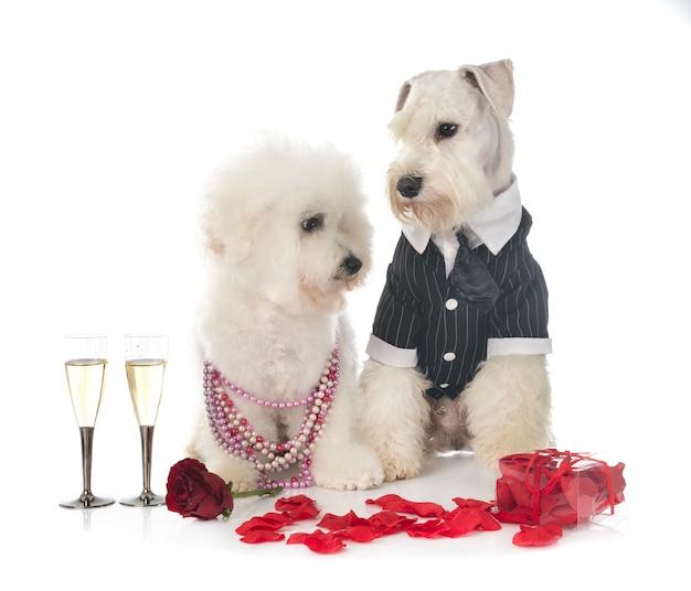 Psy i walentynki odizolowywający na bielu