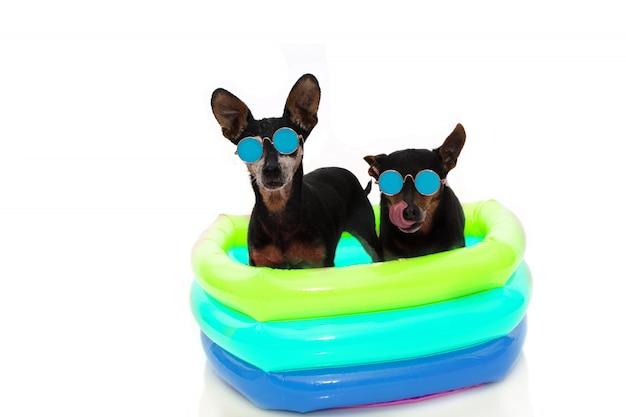Psy letnie wakacje. dwie sunbathing pinscher z kolorowym basenem na urlop odosobniony