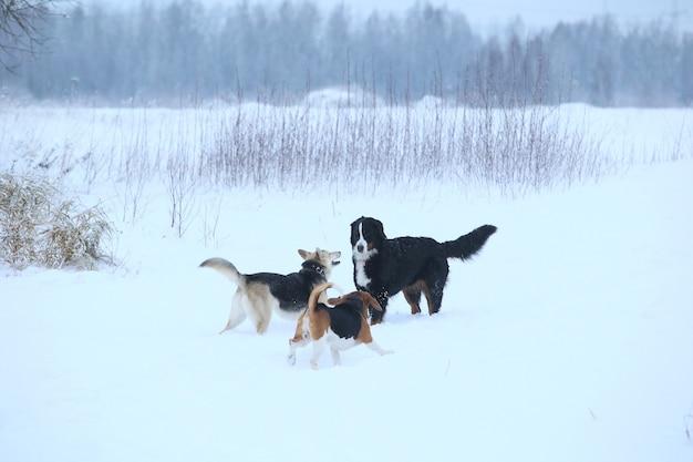 Psy na drzewie na polu beagle amerykański i pasterz rasy mieszanej i zennenhund