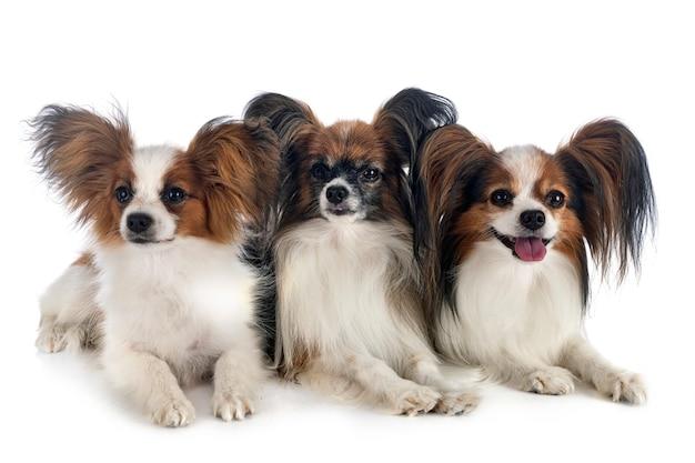 Psy papillon przed białym tle