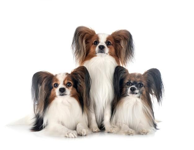 Psy papillon