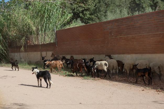 Psy pasą stado kóz i owiec w cieniu budynku.