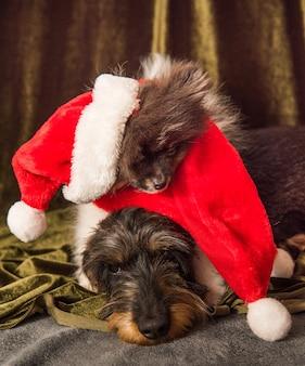 Psy pomorskie i jamniki śpią w czapce mikołaja na boże narodzenie