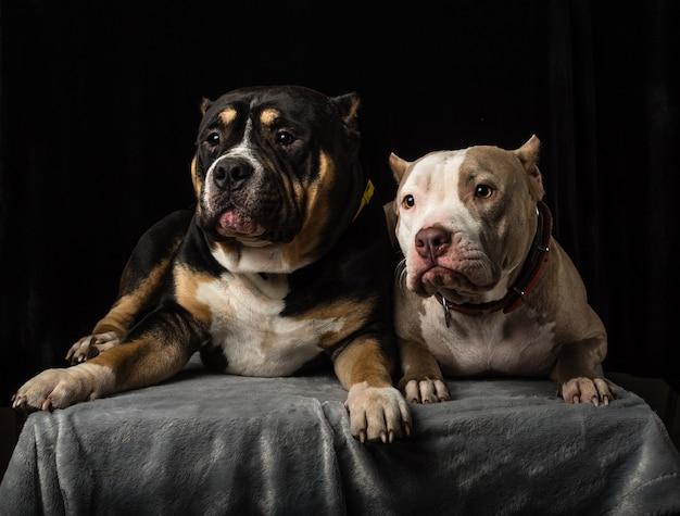 Psy rasy american bully na czarnym tle