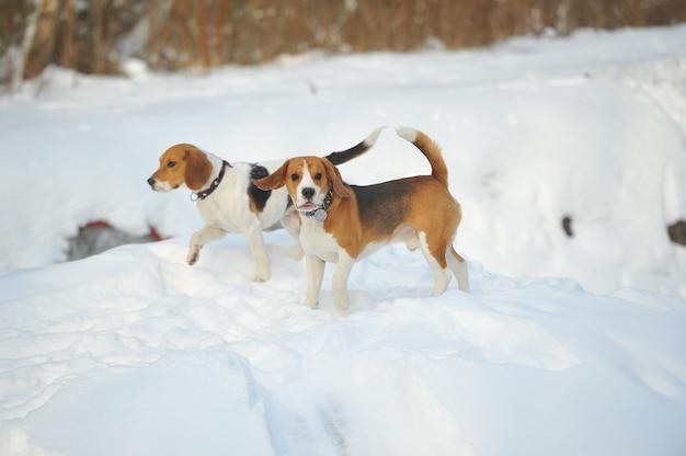 Psy rasy beagle bawią się na śniegu w zimie na świeżym powietrzu.