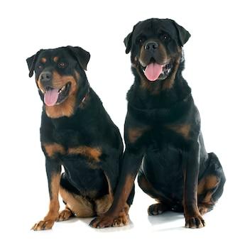 Psy rottweiler