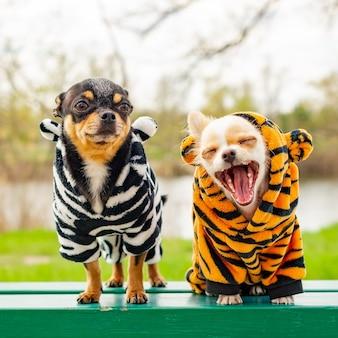 Psy w wiosennych ubraniach. dwa małe psy chihuahua na ławce. śliczne zwierzęta domowe na zewnątrz. psy