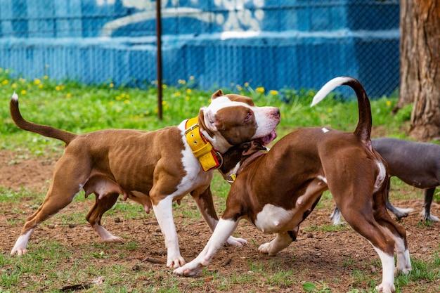 Psy walczą, grając na trawie w parku.