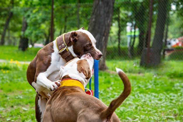 Psy walczą grając na trawie w parku