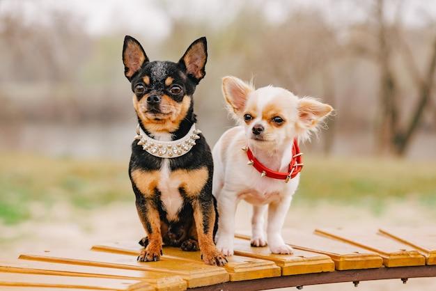 Psy z obrożami. dwa małe psy chihuahua na ławce. śliczne zwierzęta domowe na zewnątrz.