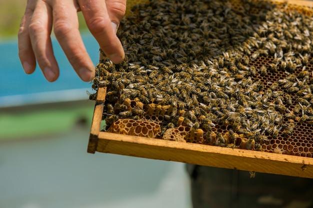 Pszczelarz bada pszczoły w plastrach miodu. ręce pszczelarza. ramy ula. pracujące pszczoły na strukturze plastra miodu