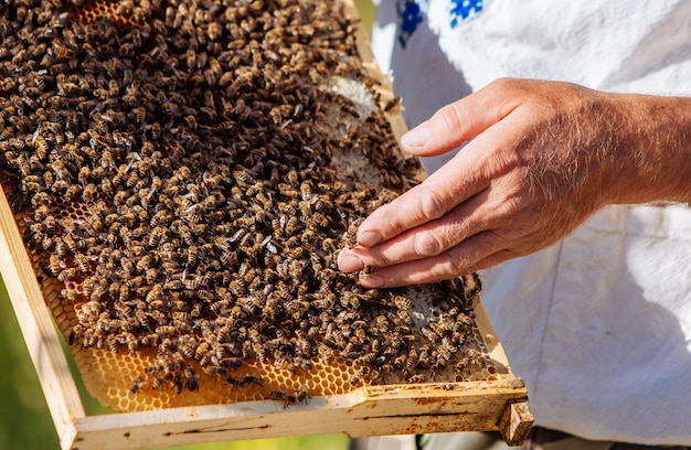 Pszczelarz bada pszczoły w plastrach miodu.
