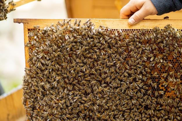 Pszczelarz opiekuje się plastrami miodu