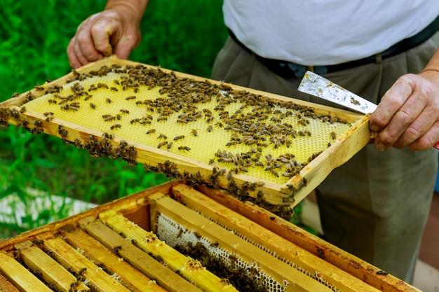 Pszczelarz opiekuje się ramkami w pobliżu uli, mężczyzna sprawdza ule pszczelarskie.